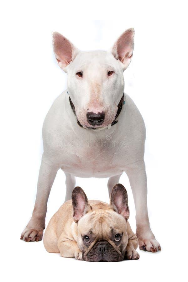 Terrier de Bull y dogo francés imagen de archivo