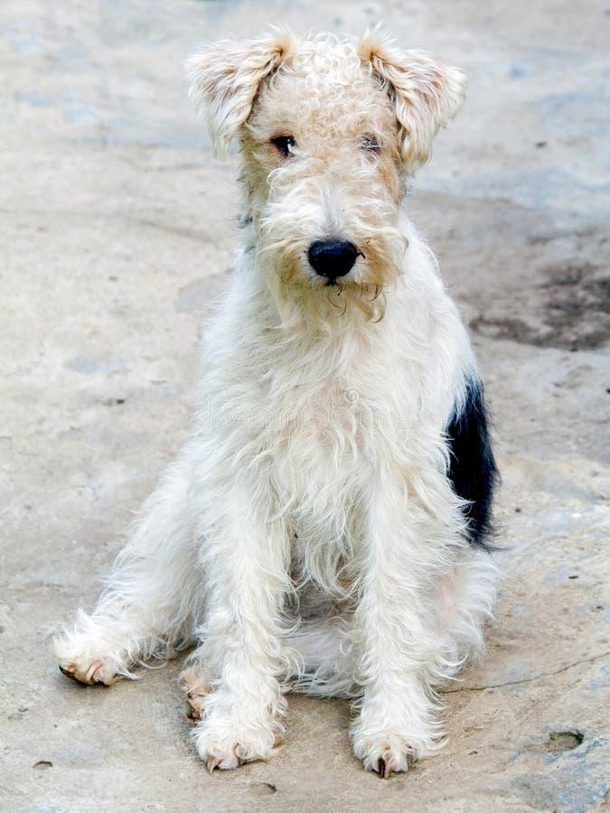 Terrier de Fox 1 fotografia de stock royalty free