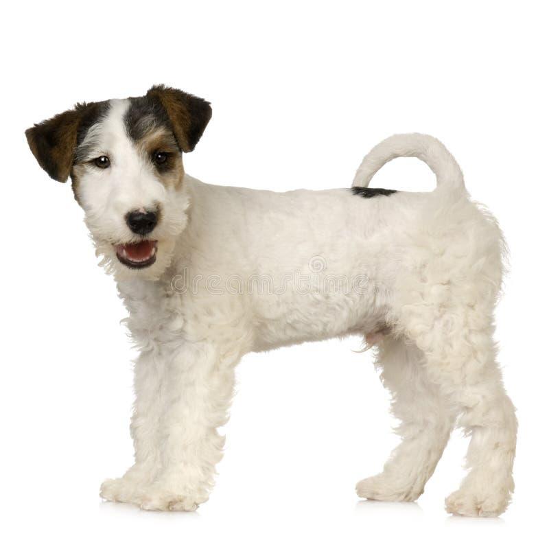 Terrier de Fox imagem de stock royalty free