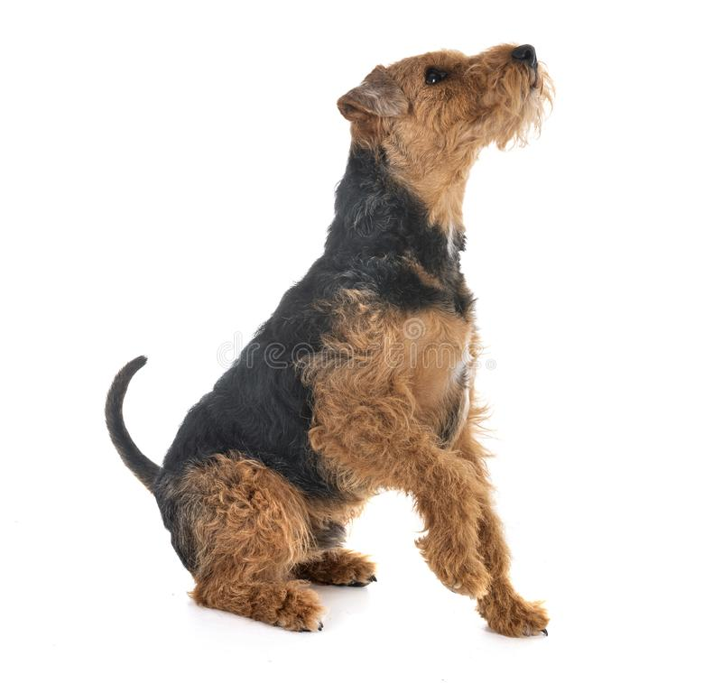 Terrier de galês no estúdio imagem de stock royalty free
