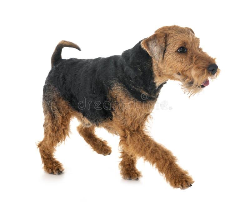 Terrier de galês no estúdio foto de stock royalty free