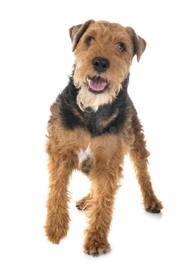 Terrier de galês no estúdio fotografia de stock