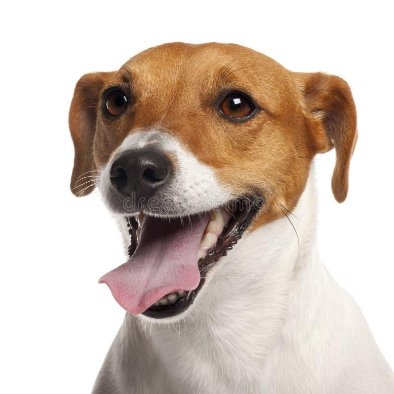 Terrier de Gato Russell, 4 años imagen de archivo libre de regalías
