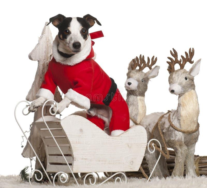 Terrier de Gato Russell, 7 años, en la Navidad fotografía de archivo libre de regalías