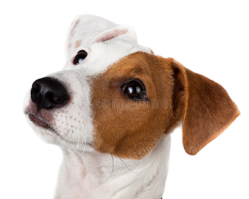 Terrier de Gato Russell, perrito imagen de archivo