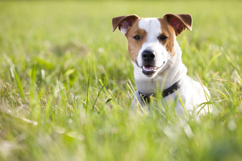 Terrier de Jack Russel fotos de stock royalty free
