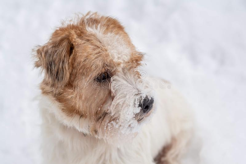 Terrier de Jack Russel Cão wirehaired triste que olha no fundo branco da neve Cena do inverno fotografia de stock
