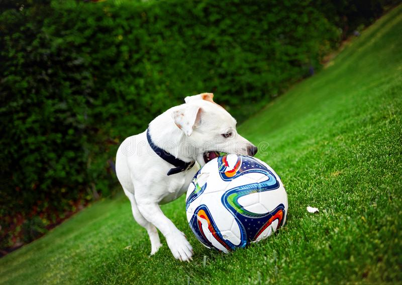 Terrier de Jack Russel que joga com a bola no jardim fotografia de stock