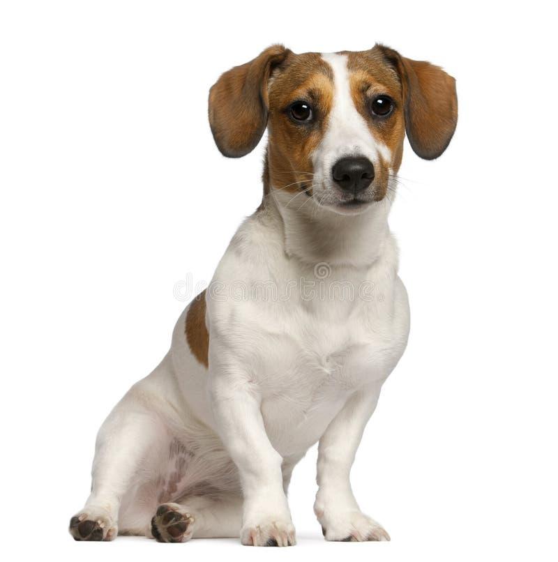 Terrier de Jack Russell, 11 meses velho, sentando-se foto de stock royalty free