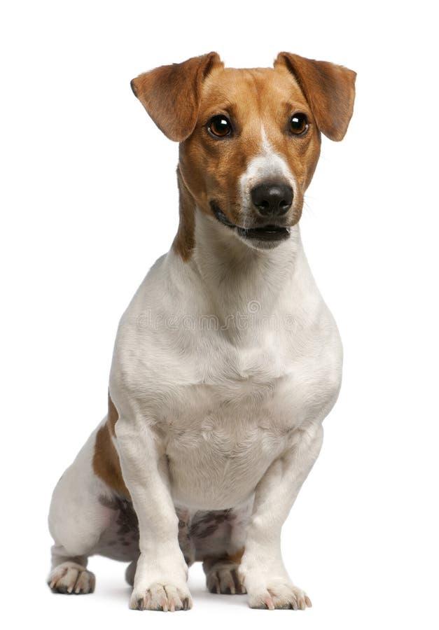 Terrier de Jack Russell, 12 meses velho, sentando-se imagens de stock