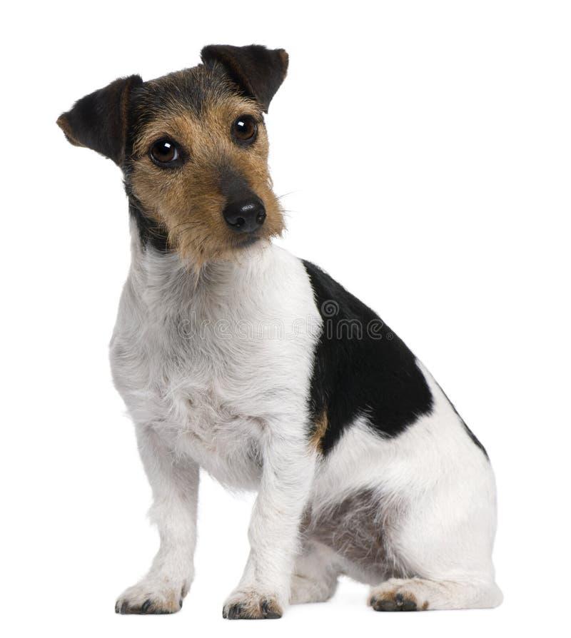 Terrier de Jack Russell, 3 anos velho, sentando-se fotografia de stock royalty free