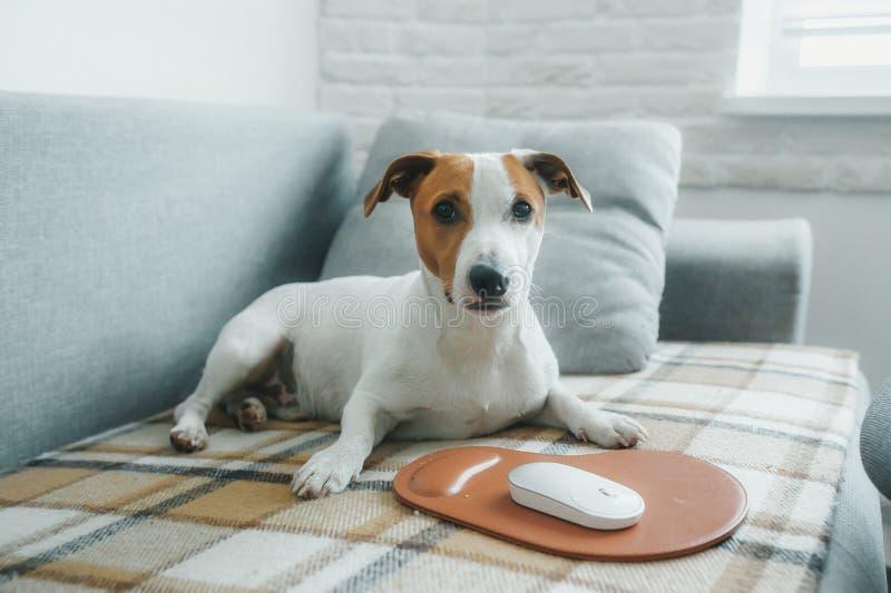 Terrier de Jack Russell de chien se trouvant sur le lit devant une souris d'ordinateur avec le mousepad image libre de droits