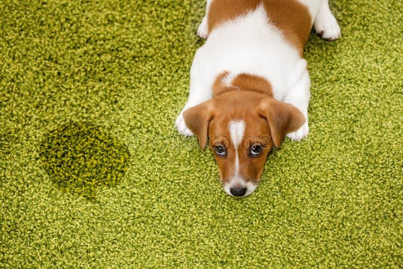 Terrier de Jack Russell de chiot se trouvant sur un tapis et semblant coupable images stock