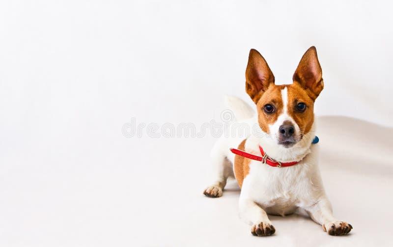 Terrier de Jack Russell em um fundo branco fotografia de stock royalty free