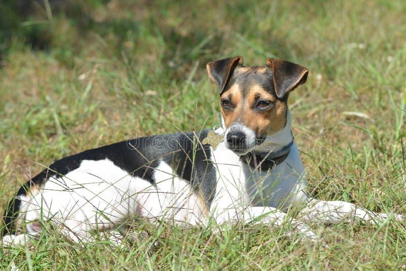Terrier de Jack Russell, femelle d'onguent noir-blanc-brun photos libres de droits