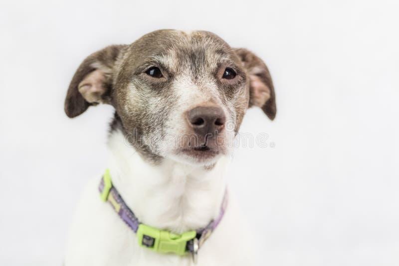 Terrier de Jack Russell no fundo branco fotografia de stock