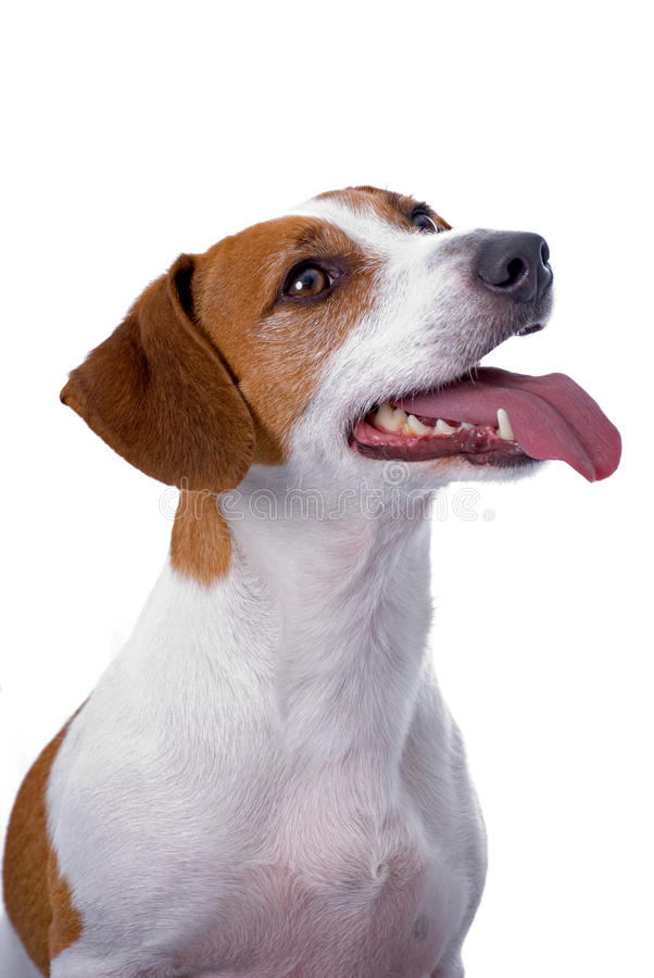 Terrier de Jack Russell no fundo branco imagem de stock royalty free