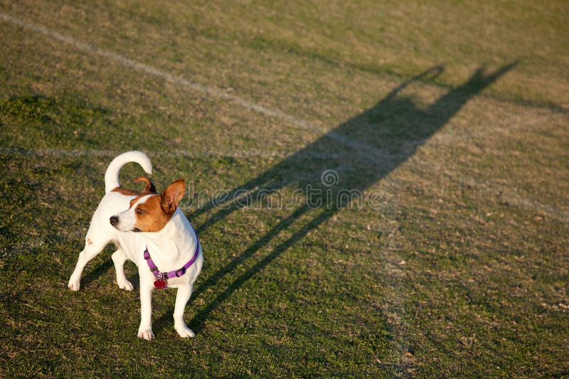 Terrier de Jack Russell no parque fotografia de stock royalty free