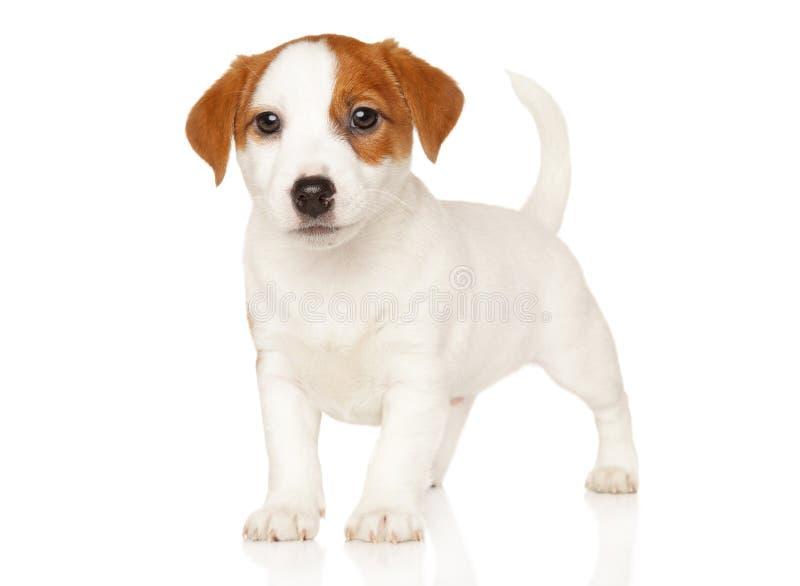 Terrier de Jack Russell no suporte imagens de stock