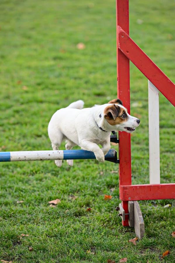 Terrier de Jack Russell que salta sobre um obstáculo fotos de stock royalty free