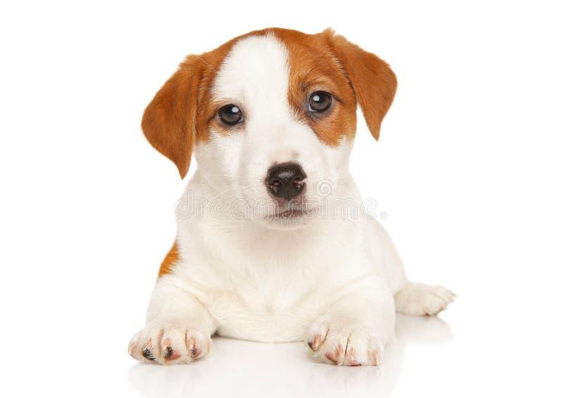 Terrier de Jack Russell sur le blanc photos libres de droits