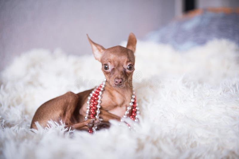 Terrier de jouet russe dans un plaid blanc dans les perles photo stock