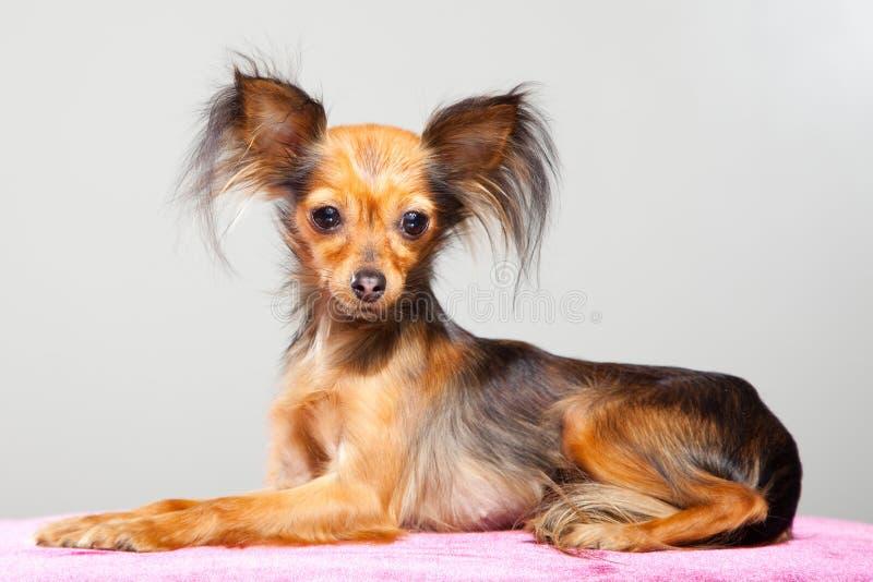 Terrier de juguete de pelo largo ruso en la almohadilla rosada imagen de archivo libre de regalías
