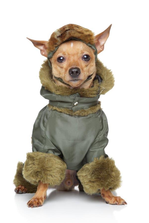 Terrier de juguete ruso en la ropa imagen de archivo libre de regalías