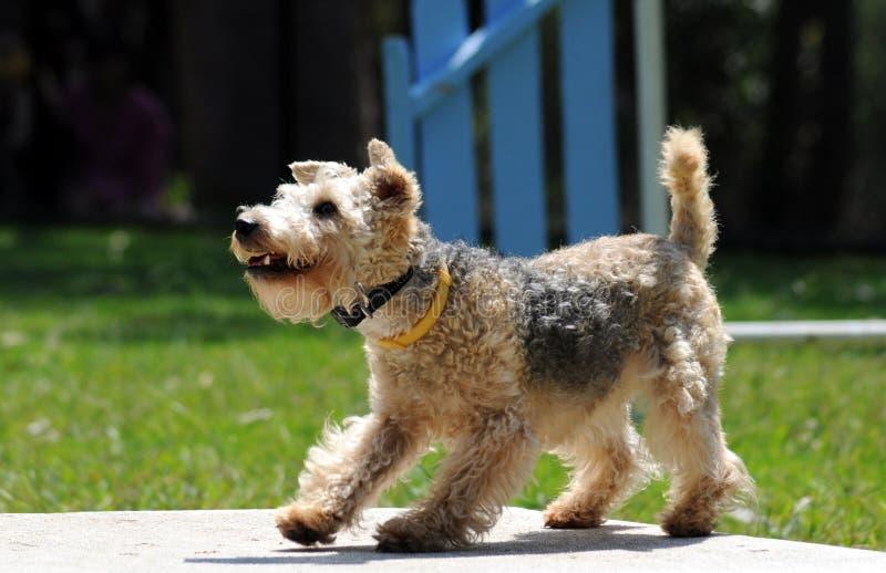 Terrier de Lakeland foto de stock