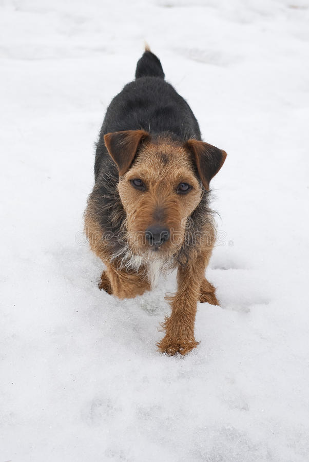 Terrier de Lakeland na neve fotos de stock