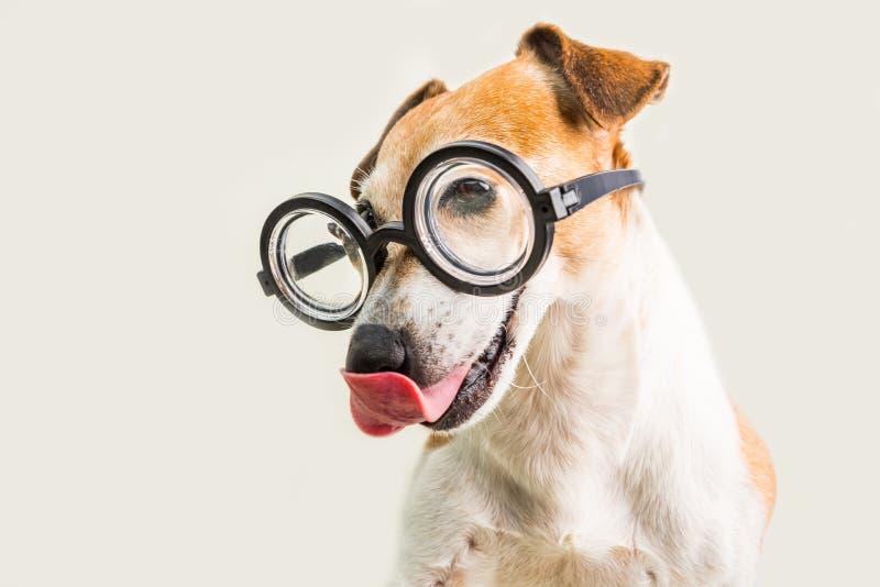 Terrier de lamedura adorable de Jack Russell del perro en vidrios Fondo gris Engañe alrededor imagen de archivo libre de regalías
