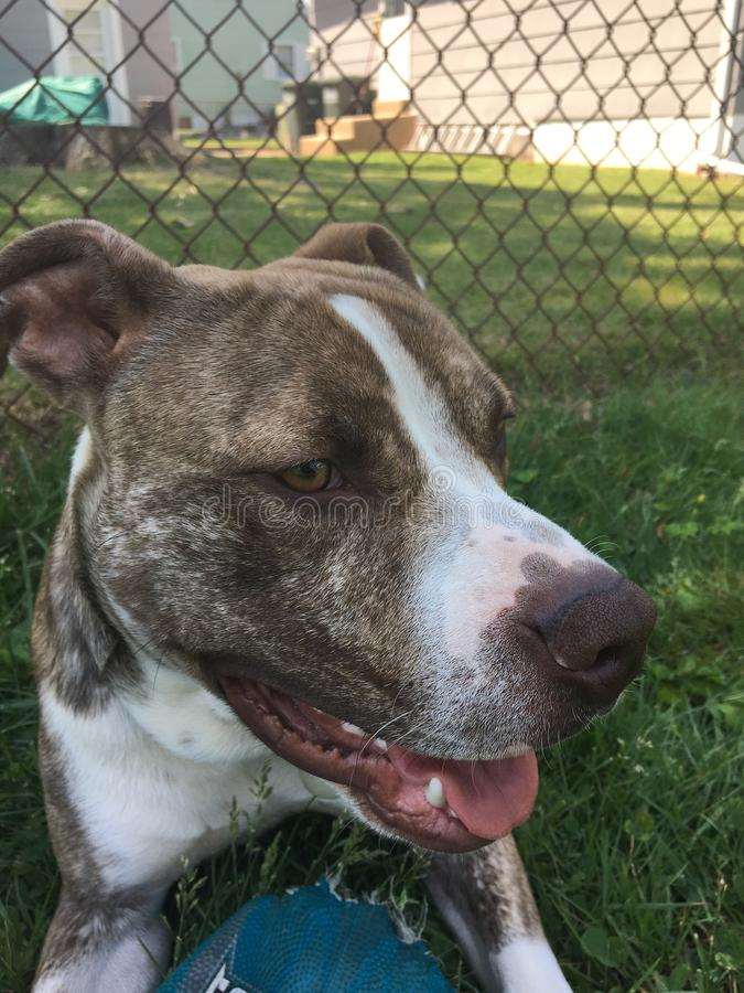 Terrier de pitbull azul do nariz imagem de stock