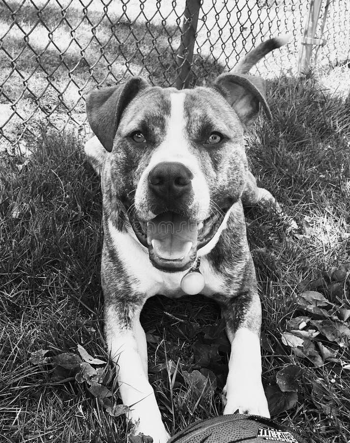 Terrier de pitbull bleu de nez images libres de droits