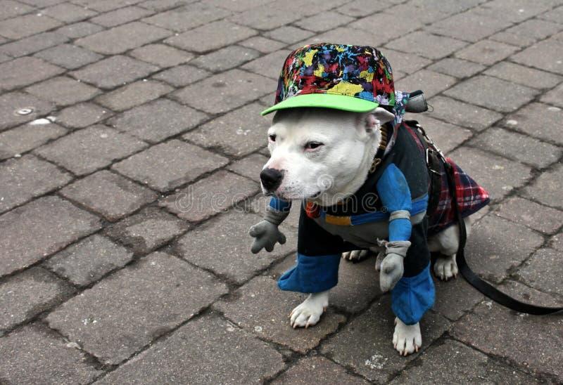 Terrier de pitbull de Staffordshire vestido como super héroe imagenes de archivo