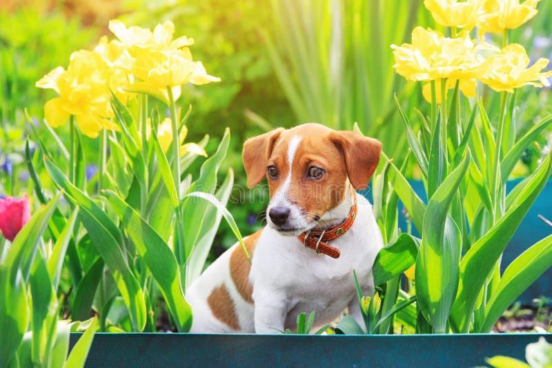 Terrier de Russel del enchufe del perrito que se sienta cerca de tulipanes foto de archivo libre de regalías