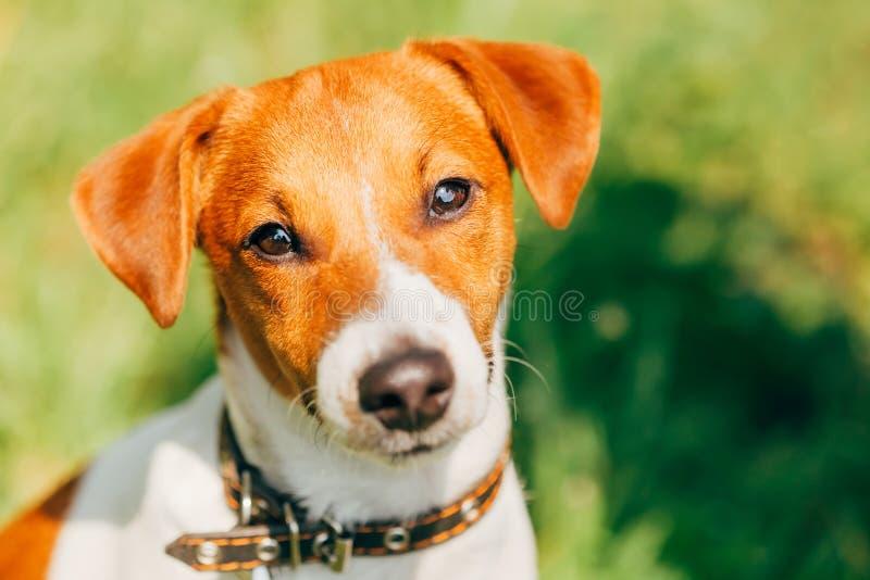 Terrier de Russel del enchufe del perro foto de archivo