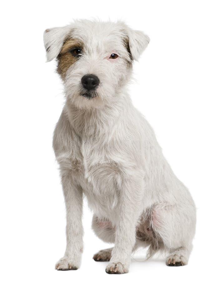 Terrier de Russel do Parson, 2 anos velho fotos de stock