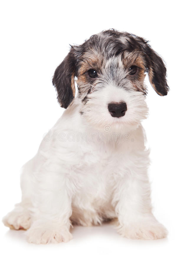 Terrier de Sealyham fotos de stock royalty free