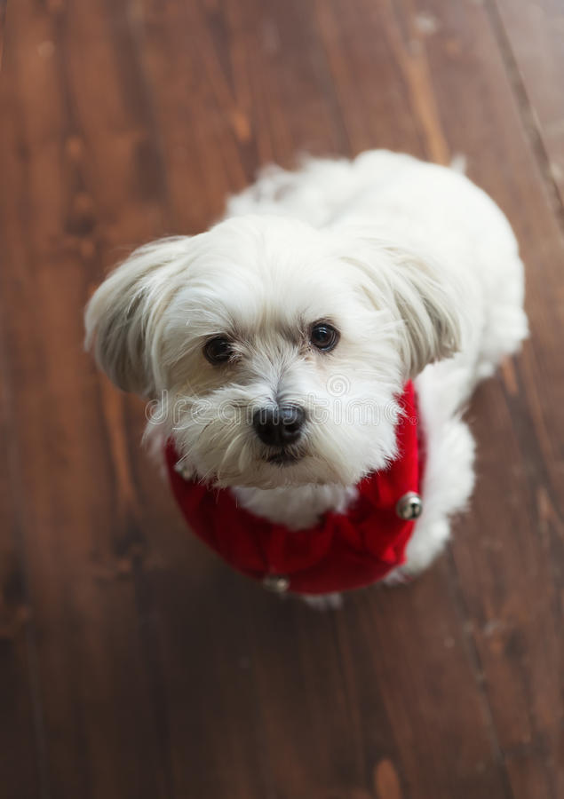 Terrier de seda maltês branco lindo com um colar vermelho do Natal imagens de stock