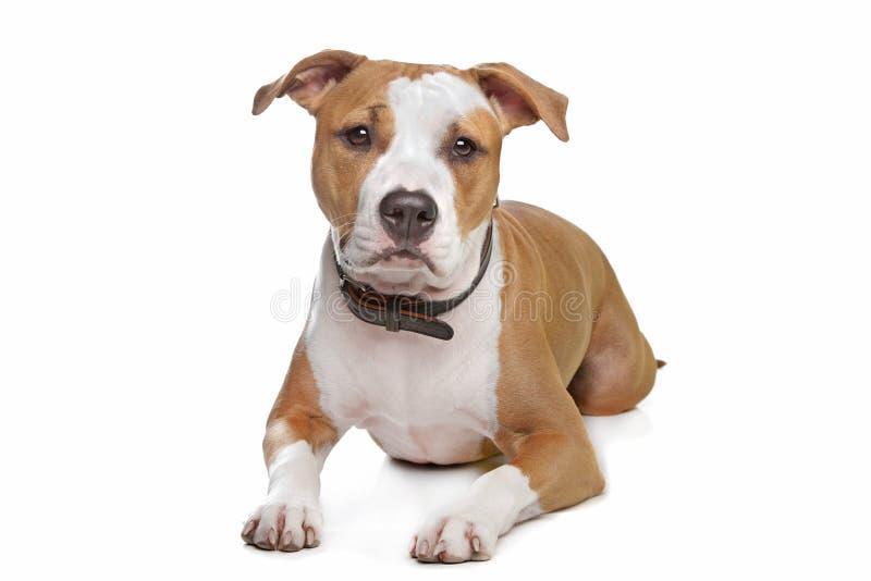 Terrier de Staffordshire americano foto de stock royalty free