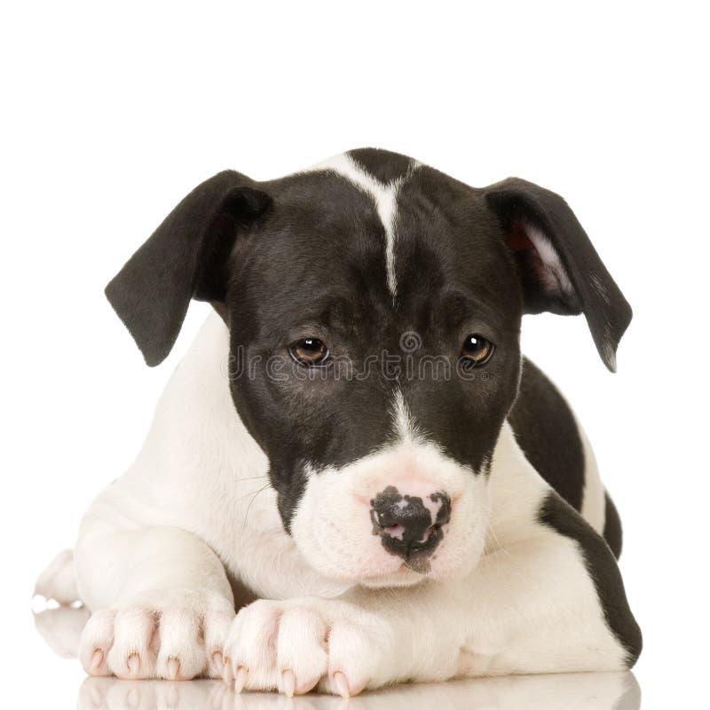 Terrier de Staffordshire americano imagen de archivo