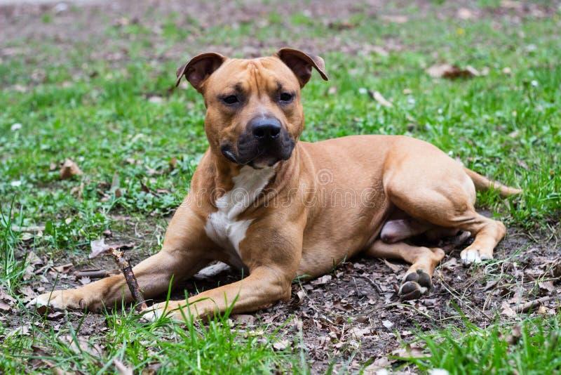 Terrier de Staffordshire americano fotografía de archivo