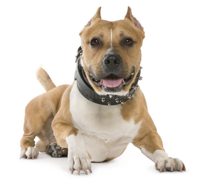Terrier de Staffordshire americano, 5 anos velho, encontrando-se foto de stock
