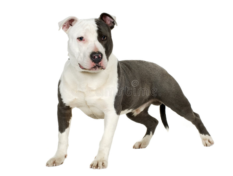 Terrier de Staffordshire americano (7 meses) foto de archivo libre de regalías