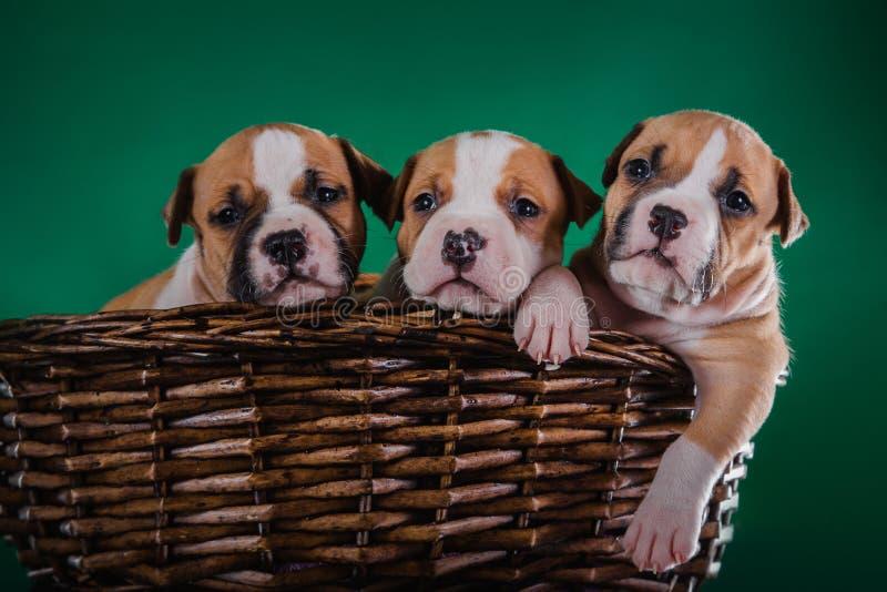Terrier de Staffordshire americano del perrito fotografía de archivo libre de regalías