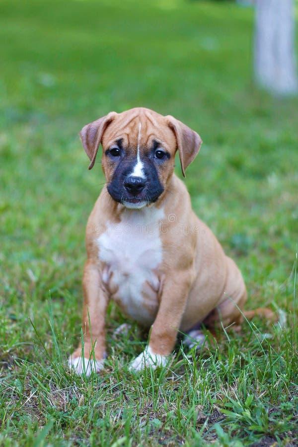 Terrier de Staffordshire americano Meu c?o 016 Cachorrinho americano imagem de stock royalty free