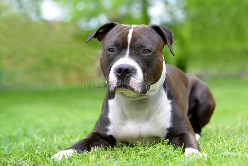 Terrier de Staffordshire americano o amstaff o stafford imagenes de archivo