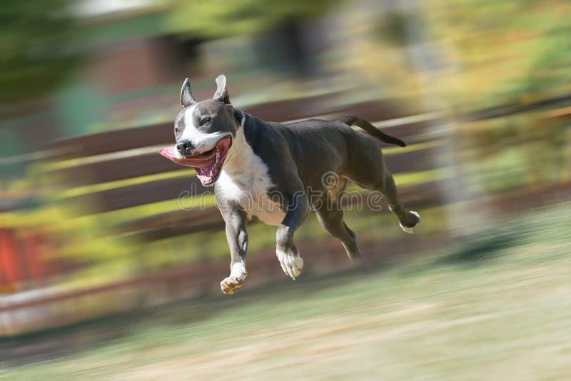 Terrier de Staffordshire americano que corre y que juega en un parque fotografía de archivo libre de regalías