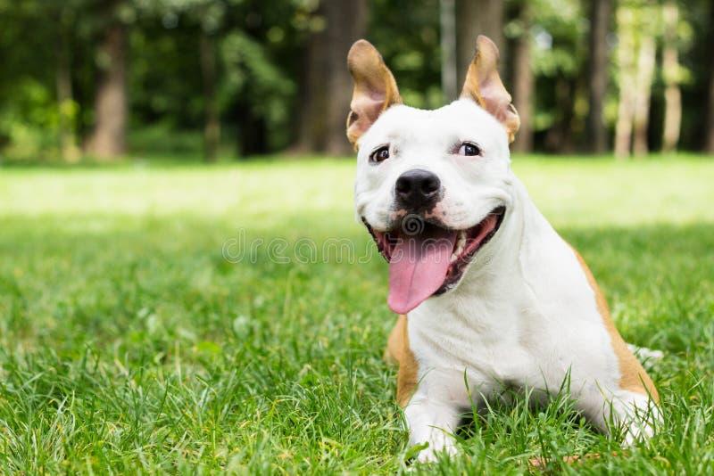 Terrier de Staffordshire americano que se acuesta fotos de archivo