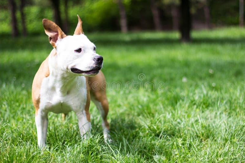 Terrier de Staffordshire americano que se coloca y que mira lejos fotografía de archivo libre de regalías